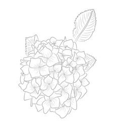 drawing of contour hydrangea for coloring b vector image