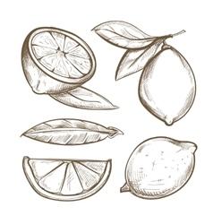Hand drawn lemons with branch lemon blossom vector image vector image