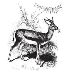 Dorcas gazelle vintage vector