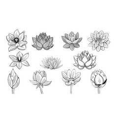 Collection of lotus sketches lotuses buds and vector