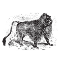 Gelada baboon vintage vector