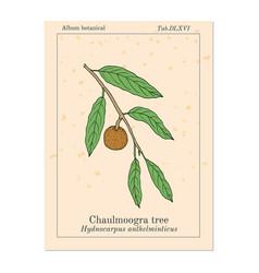 Chaulmoogra tree hydnocarpus anthelminticus vector