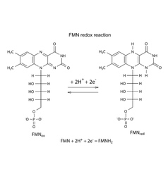FMN redox reaction vector image