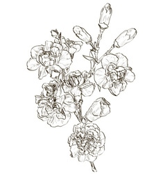 Hand Drawn Carnation Flower Sketch vector image