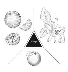 set of fruits whole orange slices and orange vector image