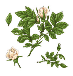 Set of red rose flower bud and leaves isolated vector