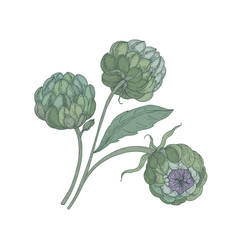 Bunch of artichokes with green buds stalks and vector