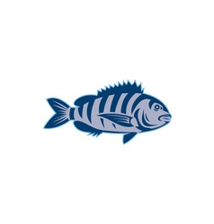 Sheepshead Fish Isolated Retro vector image