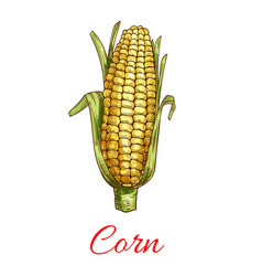 corn vegetable isolated sketch icon vector image
