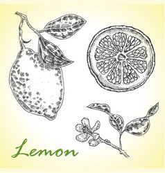 Collection of highly detailed hand drawn lemone vector