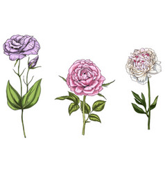 Set with peony rose and eustoma flowers vector
