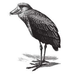 shoebill vintage vector image