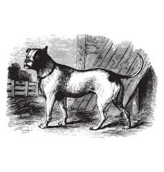 Bull dog vintage vector