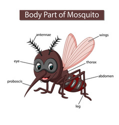 Diagram showing body part mosquito vector