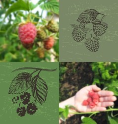 Blurred photo and ink hand drawn raspberries vector