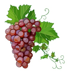 Bunch grapes vector