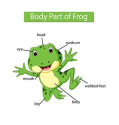 Diagram showing body part frog vector