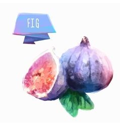 Fig hand drawn watercolor on a white background vector image