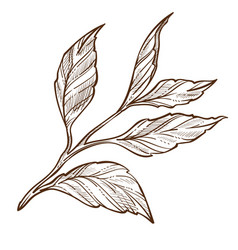Tea plant isolated sketch leaves on stem organic vector