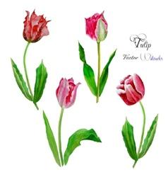 Tulips Watercolor vector image