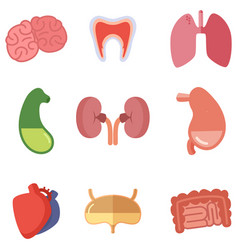 human internal organs on white background vector image