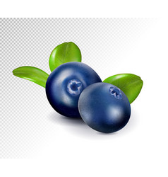 Blueberries isolated on white background quality vector