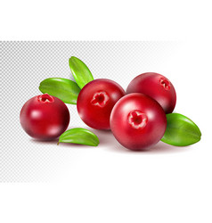 cranberry with leaves on transparent full depth vector image