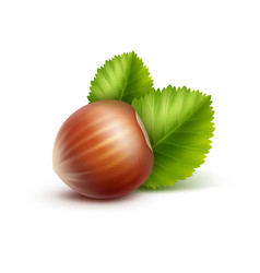 Full unpeeled hazelnut with leaves close up vector
