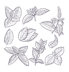 hand drawn of mint leaves and vector image vector image