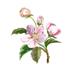 apple flowers vector image