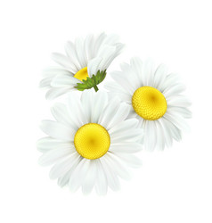 Chamomile daisy flower isolated on white vector