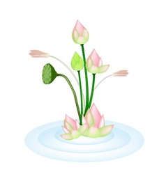 Lotus Flowers and Pod on A Water vector image