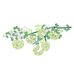 Fresh Manila Tamarind Pods on Tree Branch vector image vector image