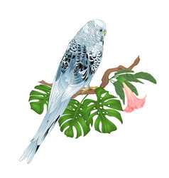 budgerigar blue pet parakeet or shell parakeet vector image