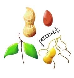 colorful peanut vector image
