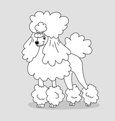 elegant groomed poodle with hairstyle and feather vector image