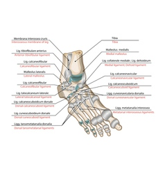 ligaments and joints foot vector image