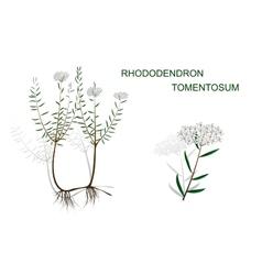 RHODODENDRON TOMENTOSUM vector