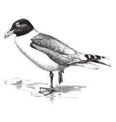 great black headed gull vintage vector image
