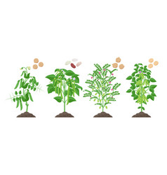Legumes plants with ripe fruits growing from soil vector