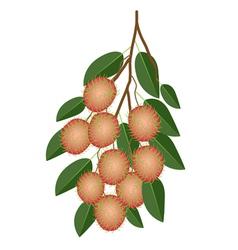 Fresh Juicy Rambutans on A Tree Branch vector image