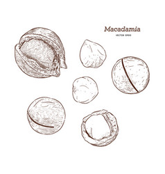 collection of macadamia hand draw sketch vector image