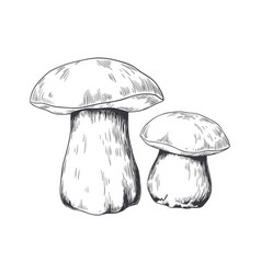 Hand drawn porcini forest plant pencil sketch of vector