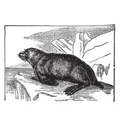 Fur seal vintage vector