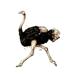 ostrich from a splash watercolor colored vector image