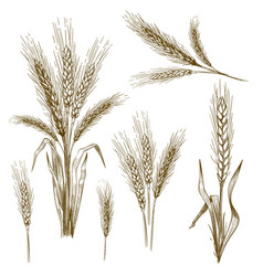 hand drawn wheat ear sketch grain wheat spikes vector image