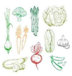 Organic farm vegetables color sketches vector