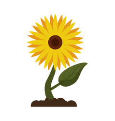 sunflower flora leaves icon vector image