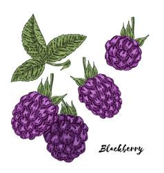 hand drawn color sketch berries ripe blackberry vector image vector image