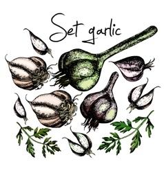 Set of garlic vector
